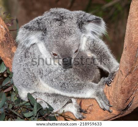 gorgeous koalas at Blackbutt Newcastle - stock photo