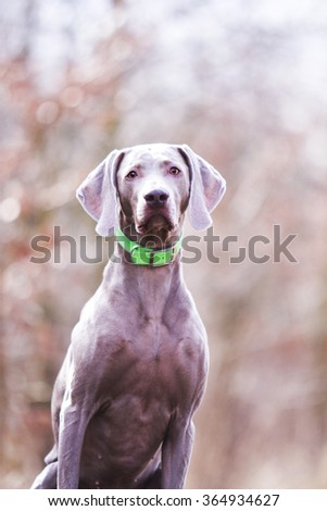 gorgeous, peaceful and healthy weimaraner dog sits and looks , winter background, light, hunting - stock photo