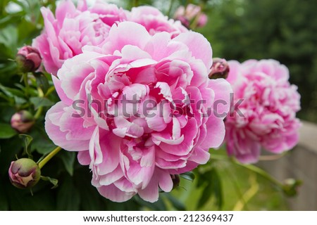 Gorgeous pink peonies in a full bloom - stock photo
