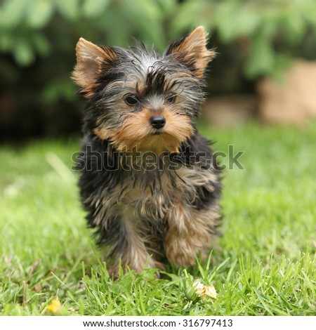 Gorgeous puppy of Yorkshire terrier standing in the garden - stock photo