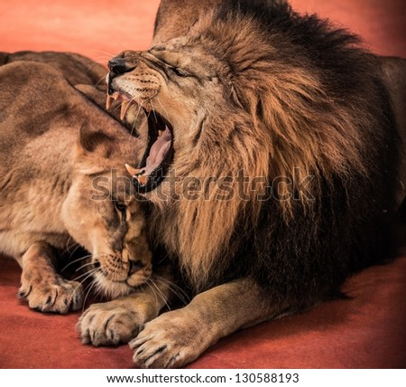 Gorgeous roaring lion and lioness on circus arena - stock photo