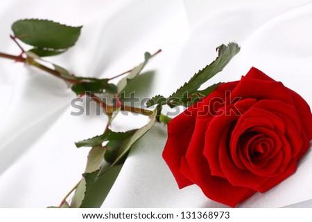 gorgeous rose on a white background - stock photo