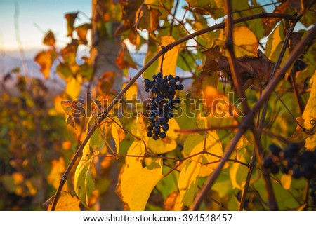 Gorgeous sunset over beautiful green vines. Nature background with Vineyard in autumn harvest. Ripe grapes in fall. Wine concept - stock photo