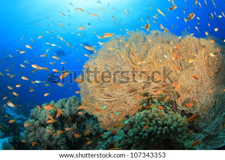Gorgonian Fan Coral and Lyretail Anthias fish with Scuba Divers in background - stock photo