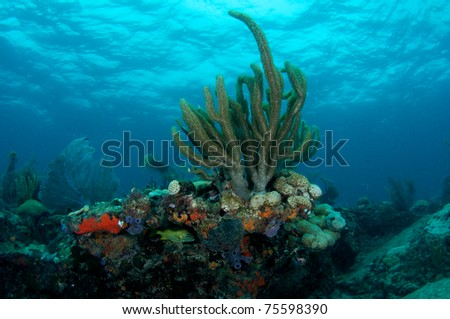 Gorgonian on a reef ledge, picture taken in south east Florida. - stock photo