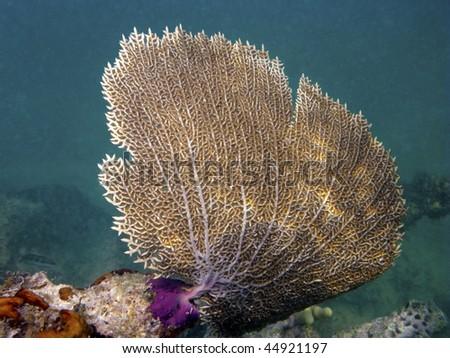 Gorgonian Sea Fan Coral - stock photo