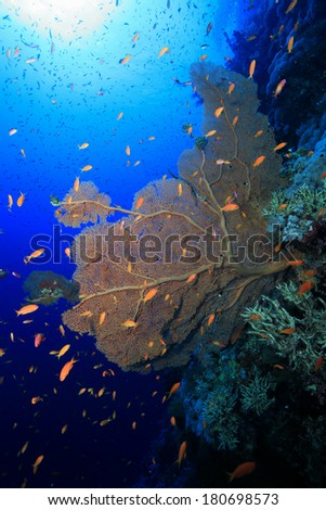 Gorgonian sea fan coral in the tropical reef of the red sea  - stock photo