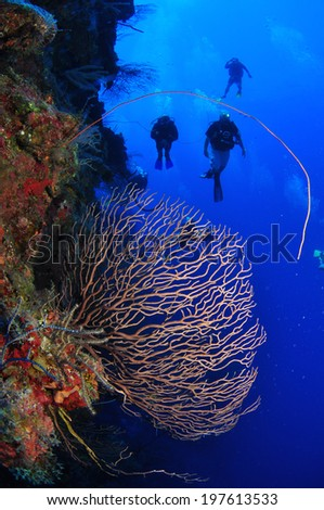Gorgonian Sea Fan on the North Wall with Divers, Grand Cayman - stock photo