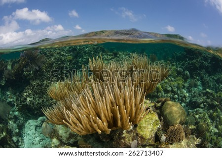 Gorgonians grow in the shallow waters of Turneffe Atoll off the coast of Belize in the Caribbean Sea. Sea fans such as these feed on planktonic organisms that float in ocean currents. - stock photo
