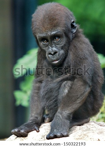 Gorilla baby - stock photo