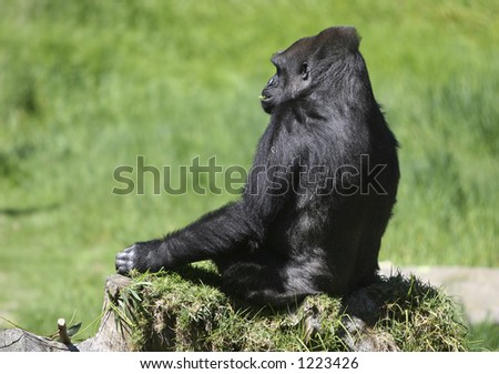Gorilla eating - stock photo