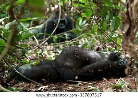 Gorilla in Congo, western lowland gorilla in jungle Congo. Portrait of a western lowland gorilla (Gorilla gorilla gorilla) close up at a short distance. Africa. Congo - stock photo