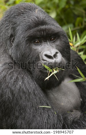 Gorilla, Mountain, Gorilla gorilla beringei, silverback, eating bamboo, Volcanoes National Park, Rwanda, Africa,  - stock photo