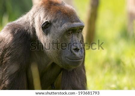 Gorilla sitting down - stock photo