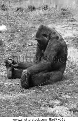 Gorillas are the largest extant species of primates. They are ground-dwelling, predominantly herbivorous apes that inhabit the forests of central Africa. Gorillas are divided into two species. - stock photo
