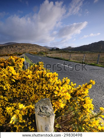 Gorse bush by country road - stock photo