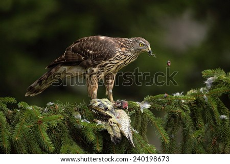 Goshawk (Accipiter gentilis) with kill Green Grey-headed Woodpecker sitting on the spruce tree in the forest - stock photo