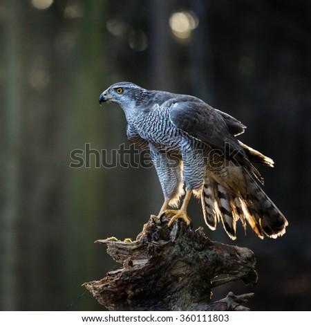 goshawk is sitting on the tree stump, close-up. - stock photo