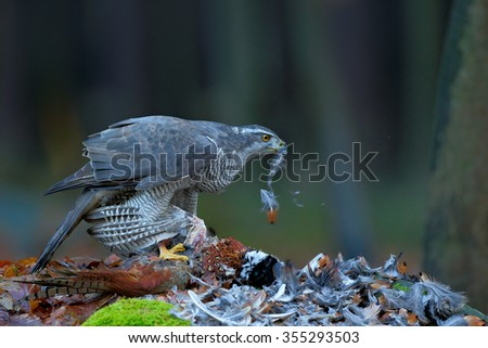 Goshawk kill Common Pheasant on the grass in green forest, bird of prey in the nature habitat, Norway - stock photo