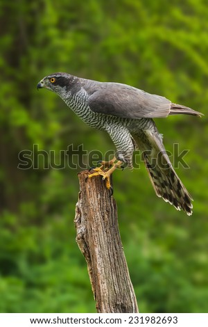 Goshawk perched on tree stump. A magnificent male goshawk is seen perched on a tree stump - stock photo