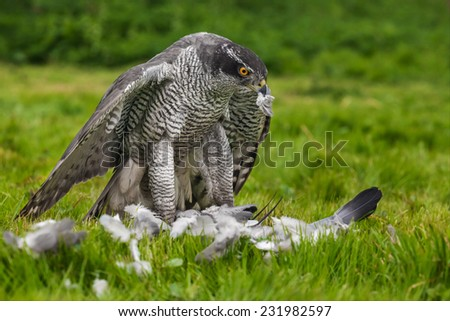 Goshawk standing over prey. A magnificent male goshawk is seen standing over his pigeon prey. - stock photo