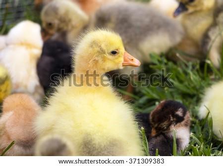 Gosling on a poultry farm - stock photo