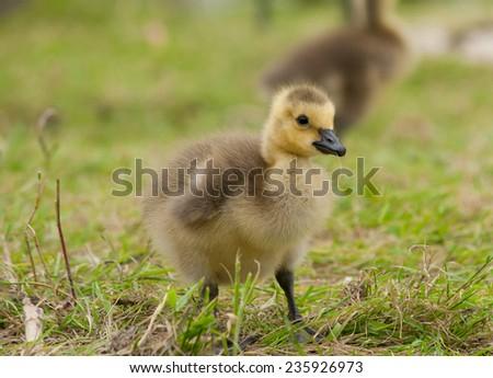 gosling portrait - stock photo
