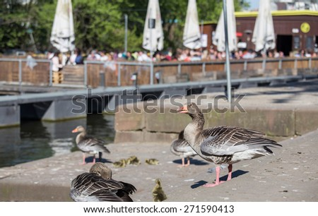 goslings and parents in the city - stock photo