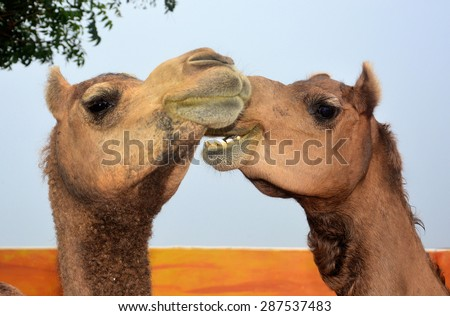 Gossiping camels. Funny animals. I talk, you listen. Wry smile. Smiling camel. Talking animals. Patient listener. Lend an ear.  - stock photo