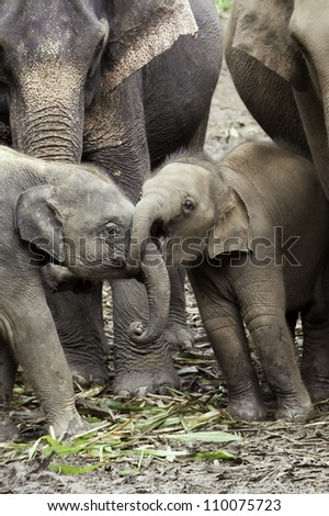 Gotcha!  Baby Asian elephants (Elephas maximus) wrestle with their trunks. - stock photo