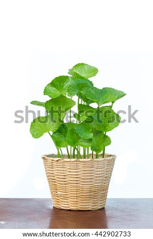 gotu kola leaves on white background,gotu kola in bamboo basket on white background - stock photo