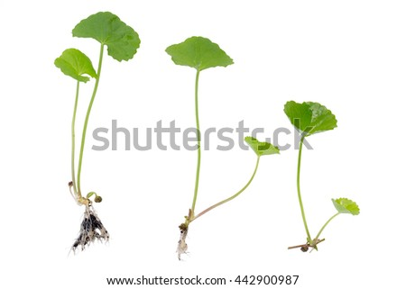 gotu kola on white background - stock photo