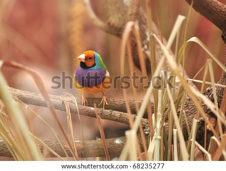 Gouldian Finch colorful bird on tree - stock photo