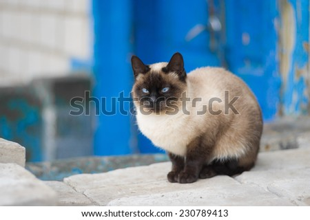 Graceful Siamese cat with blue eyes - stock photo