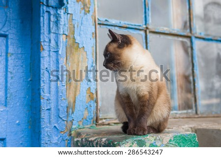 Graceful Siamese cat with blue eyes sitting at the doorway - stock photo