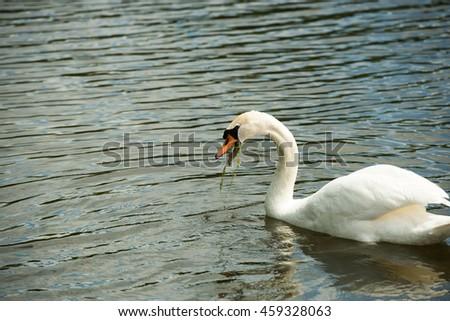 Graceful Swan on a lake    - stock photo