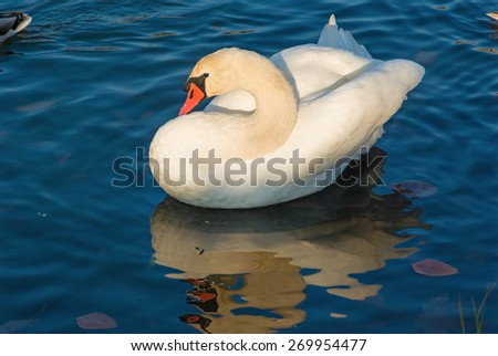 Graceful white swan and its reflection on the background of blue water on a sunny day. - stock photo