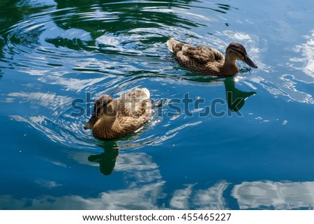 Graceful wild ducks swim in blue clear water. Beautiful bird in its natural nature. Idyllic to the eye picture. - stock photo