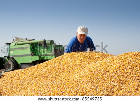 grain corn closeup on field - stock photo