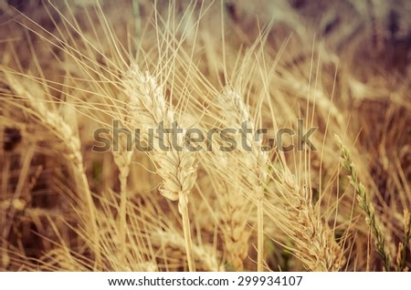 Grain field. Close-up of ear of wheat, ready to be harvested. - stock photo