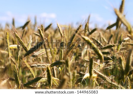 Grain field in late summer. - stock photo