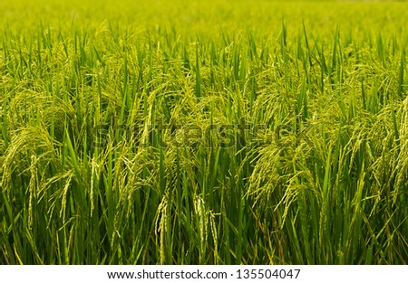 Grain in the ear in the summer. - stock photo