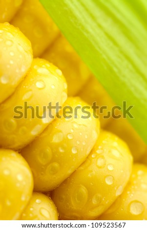 Grains of Ripe Corn with Water Droplets  and  Green Leaf/ Extreme Macro / Yellow background - stock photo