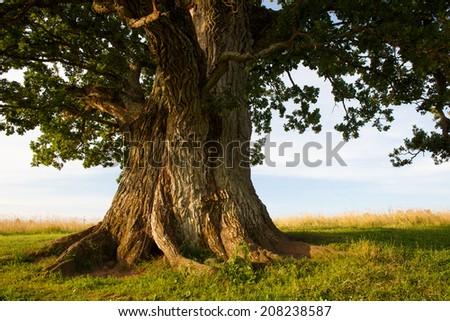 Grand oak in Urvaste, Estonia - stock photo