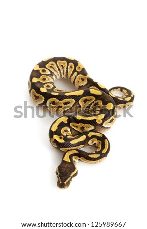 Granit Mojave Ball Python (Python regius) isolated on white background. - stock photo