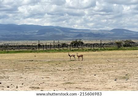 Grant antelope in the wild natural habitat - stock photo