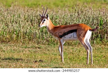 Grant's Gazelle in the Serengeti National Park, Tanzania - stock photo