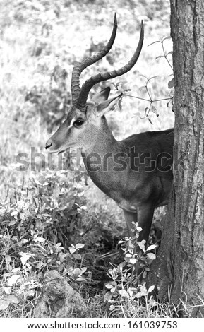 Grant's gazelle male in Lake Nakuru National Park - Kenya (black and white) - stock photo