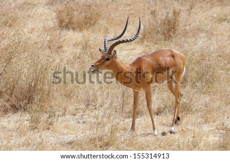 Grant's gazelle with typical long, slender horns standing at the Serengeti National Park, Tanzania - stock photo