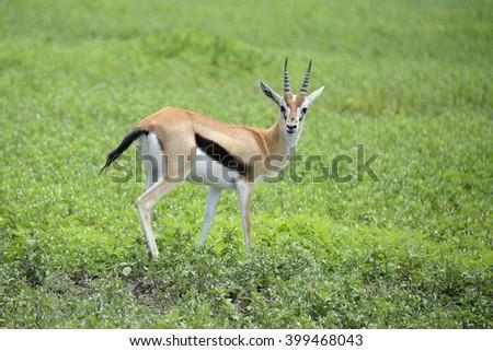 Grants gazelle carefully watching for predators in African serengeti - stock photo